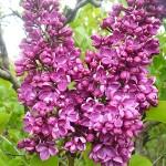Syringa vulgaris L. 'Alyosha' (Сирень обыкновенная 'Алеша') 8