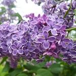 Syringa vulgaris L. 'Charles X' (Сирень обыкновенная 'Charles X') 1