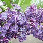 Syringa vulgaris L. 'Charles X' (Сирень обыкновенная 'Charles X')