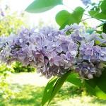 Syringa vulgaris L. 'Condorcet' (Сирень обыкновенная 'Condorcet')