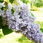 Syringa vulgaris L. 'Condorcet' (Сирень обыкновенная 'Condorcet') 1