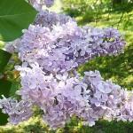 Syringa vulgaris L. 'Condorcet' (Сирень обыкновенная 'Condorcet') 2