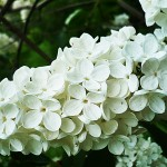 Syringa vulgaris L. 'Exellent' (Сирень обыкновенная 'Exellent')