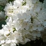 Syringa vulgaris L. 'Exellent' (Сирень обыкновенная 'Exellent') 3