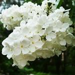 Syringa vulgaris L. 'Exellent' (Сирень обыкновенная 'Exellent') 4