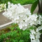 Syringa vulgaris L. 'Exellent' (Сирень обыкновенная 'Exellent') 5