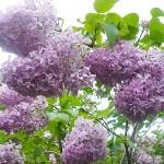 Syringa vulgaris L. 'Gulnazira' (Сирень обыкновенная 'Гульназира')