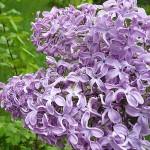 Syringa vulgaris L. 'Gulnazira' (Сирень обыкновенная 'Гульназира') 1