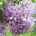 Syringa vulgaris L. 'Gulnazira' (Сирень обыкновенная 'Гульназира') 2