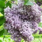 Syringa vulgaris L. 'Gulnazira' (Сирень обыкновенная 'Гульназира') 4