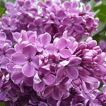 Syringa vulgaris L. 'Hugo de Vris' (Сирень обыкновенная 'Hugo de Vris')