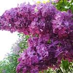 Syringa vulgaris L. 'India' (Сирень обыкновенная 'Индия')