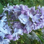 Syringa vulgaris L. 'Jules Simon' (Сирень обыкновенная 'Jules Simon') 2