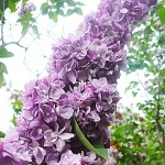 Syringa vulgaris L. 'Katherine Havemeyer' (Сирень обыкновенная 'Katherine Havemeyer')