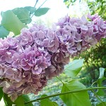 Syringa vulgaris L. 'Katherine Havemeyer' (Сирень обыкновенная 'Katherine Havemeyer') 2