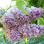 Syringa vulgaris L. 'Katherine Havemeyer' (Сирень обыкновенная 'Katherine Havemeyer') 3