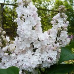 Syringa vulgaris L. 'Krasavitsa Moskvy' (Сирень обыкновенная 'Красавица Москвы')