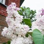 Syringa vulgaris L. 'Krasavitsa Moskvy' (Сирень обыкновенная 'Красавица Москвы') 2
