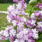 Syringa vulgaris L. 'M-me Antoine Buchner' (Сирень обыкновенная 'M-me Antoine Buchner') 1