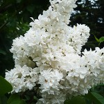 Syringa vulgaris L. 'M-me Lemoine' (Сирень обыкновенная 'M-me Lemoine') 1