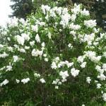 Syringa vulgaris L. 'M-me Lemoine' (Сирень обыкновенная 'M-me Lemoine')
