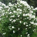 Syringa vulgaris L. 'M-me Lemoine' (Сирень обыкновенная 'M-me Lemoine') 2