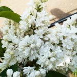 Syringa vulgaris L. 'M-me Lemoine' (Сирень обыкновенная 'M-me Lemoine') 3