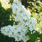 Syringa vulgaris L. 'Marie Legraye' (Сирень обыкновенная 'Marie Legraye')