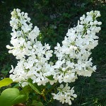 Syringa vulgaris L. 'Marie Legraye' (Сирень обыкновенная 'Marie Legraye') 2