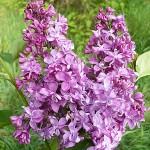 Syringa vulgaris L. 'Mrs. Edward Harding' (Сирень обыкновенная 'Mrs. Edward Harding')