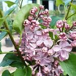 Syringa vulgaris L. 'Mulatka' (Сирень обыкновенная 'Мулатка') 2