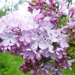 Syringa vulgaris L. 'Nafisa' (Сирень обыкновенная 'Нафиса')
