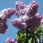 Syringa vulgaris L. 'Nafisa' (Сирень обыкновенная 'Нафиса') 2