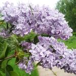 Syringa vulgaris L. 'Nafisa' (Сирень обыкновенная 'Нафиса') 3