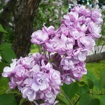 Syringa vulgaris L. 'Paul Deschanel' (Сирень обыкновенная 'Paul Deschanel')