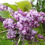 Syringa vulgaris L. 'Paul Deschanel' (Сирень обыкновенная 'Paul Deschanel') 2