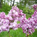 Syringa vulgaris L. 'Paul Deschanel' (Сирень обыкновенная 'Paul Deschanel') 3