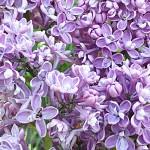 Syringa vulgaris L. 'President Grevy' (Сирень обыкновенная 'President Grevy')