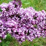 Syringa vulgaris L. 'President Grevy' (Сирень обыкновенная 'President Grevy') 3