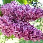 Syringa vulgaris L. 'President Loubet' (Сирень обыкновенная 'President Loubet')
