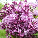 Syringa vulgaris L. 'President Loubet' (Сирень обыкновенная 'President Loubet') 3