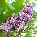 Syringa vulgaris L. 'President Poincare' (Сирень обыкновенная 'President Poincare') 2