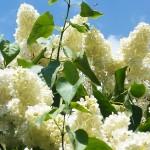 Syringa vulgaris L. 'Primrose' (Сирень обыкновенная 'Primrose')