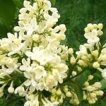 Syringa vulgaris L. 'Primrose' (Сирень обыкновенная 'Primrose') 1