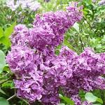 Syringa vulgaris L. 'Reaumur' (Сирень обыкновенная 'Reaumur')