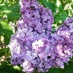 Syringa vulgaris L. 'Ruhm von Horstenstein' (Сирень обыкновенная 'Ruhm von Horstenstein') 2