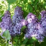 Syringa vulgaris L. 'Ruhm von Horstenstein' (Сирень обыкновенная 'Ruhm von Horstenstein') 3