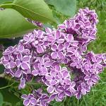 Syringa vulgaris L. 'Sensation' (Сирень обыкновенная 'Sensation')