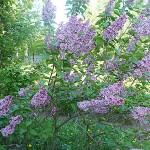 Syringa vulgaris L. 'Sensation' (Сирень обыкновенная 'Sensation') 1