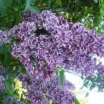 Syringa vulgaris L. 'Sensation' (Сирень обыкновенная 'Sensation') 2